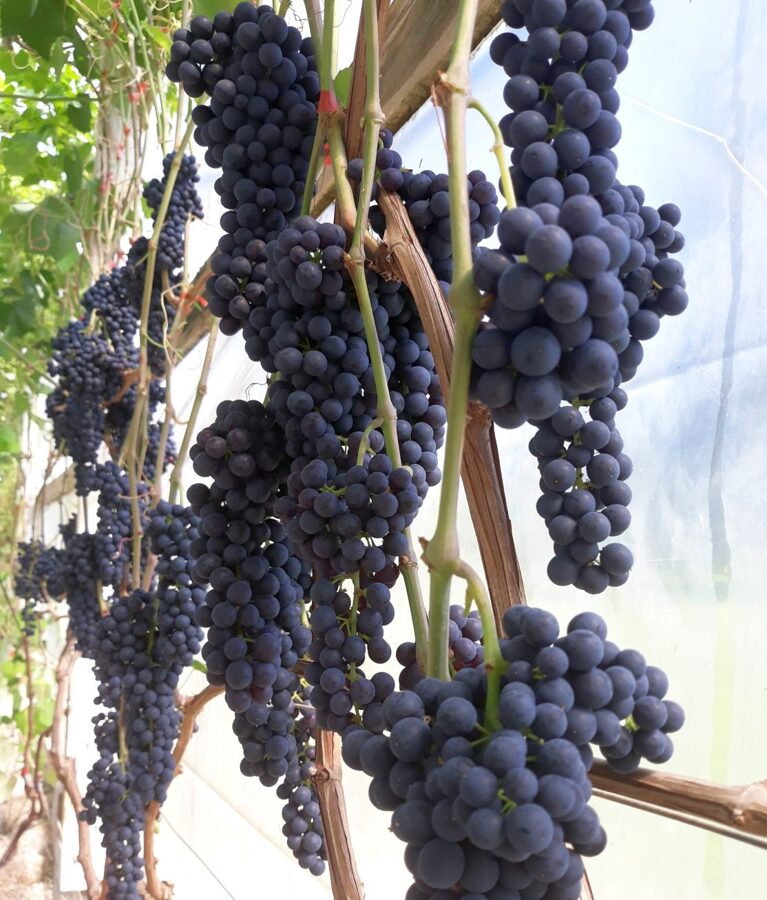 Vīnogu sula
