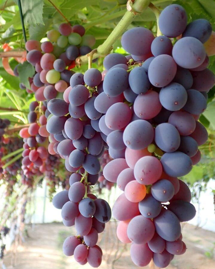 Ļoti garšīgas bezsēklu vīnogas